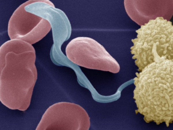 Trypanosoma Parasite Blood Cells