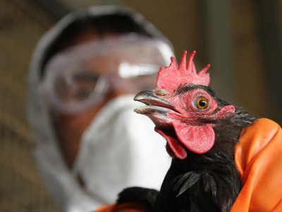 Culling begins as Bird flu resurfaces at Tripura - India