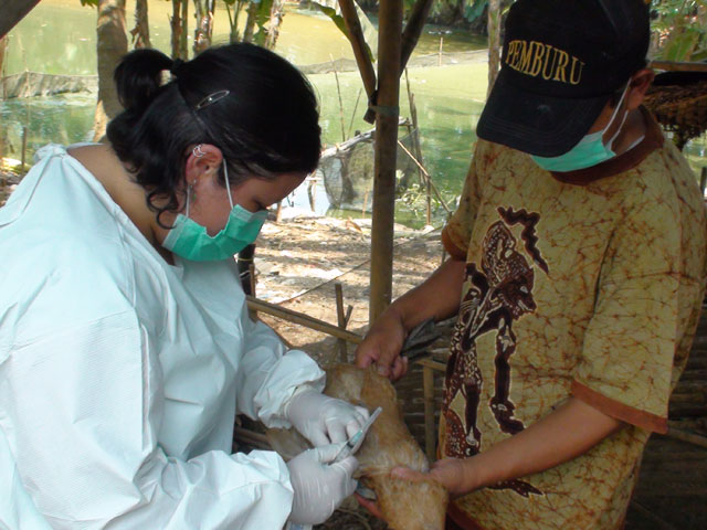 pengambilan-sampel-darah-bebek