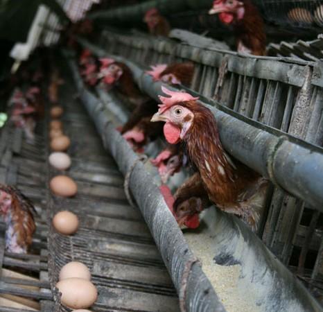 poultry_restruct
