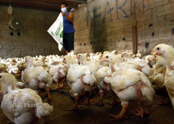 70 Ekor Ayam Diserang Avian Influenza