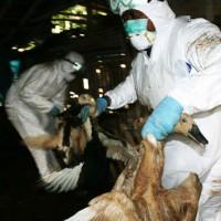 Infeksi Avian Influenza Menyebar di Yogya dan Jateng