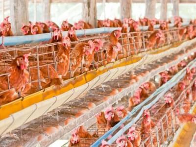 Virus Flu Burung Jenis Baru Mematikan