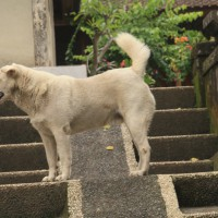 anjing Bali