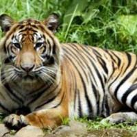 harimau-sumatera