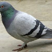 https://www.google.co.id/search?q=burung+merpati&tbm=isch&tbs=simg:CAQSigEahwELEKjU2AQaAggDDAsQsIynCBpgCl4IAxIopQ2FHrwVowTqCr0VuxW-Fb8VywTzKfQpriL1KdEosjfyKdAo3SGtIhowN5zgX8DrC5LU7Pu2K1aXwP6KWiaEO7oVWwCCXsRHKf1MA-AKyYRguLxf0iCuTf8QDAsQjq7-CBoKCggIARIEuPBljQw&sa=X&ei=4nUiVce1BJSauQSp84CICA&ved=0CBcQwg4oAA&biw=1360&bih=667#imgdii=_&imgrc=fd2z7vUuIOQa-M%253A%3Bnnc2Z82PPUpZ1M%3Bhttp%253A%252F%252F1.bp.blogspot.com%252F-mMoA9PyjXNc%252FUBfar2h9Q3I%252FAAAAAAAAEIg%252FHYuCac9Wsu0%252Fs1600%252Fpigeon%252B-%252Bkhushifairy%252B(4).jpg%3Bhttp%253A%252F%252Ffroliczone.blogspot.com%252F2012%252F07%252Fpigeon.html%3B800%3B536