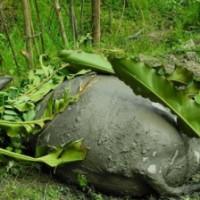 Kerbau terserang penyakit ngorok