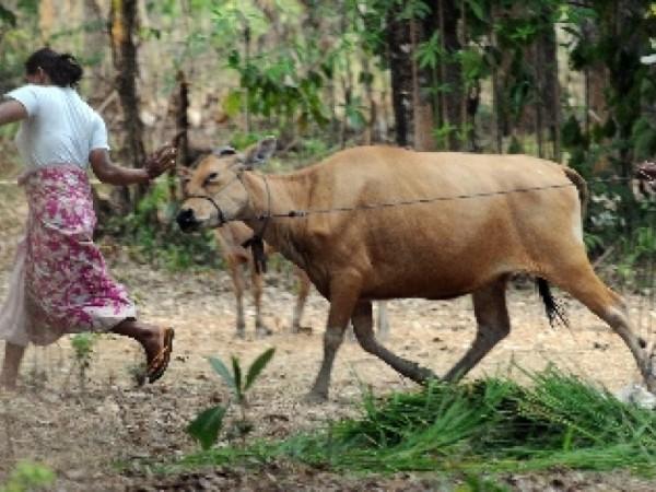 dua-warga-berusaha-menjinakkan-ternak-sapinya-saat-akan-diberi-_antara Sahrul M. Tikupadang