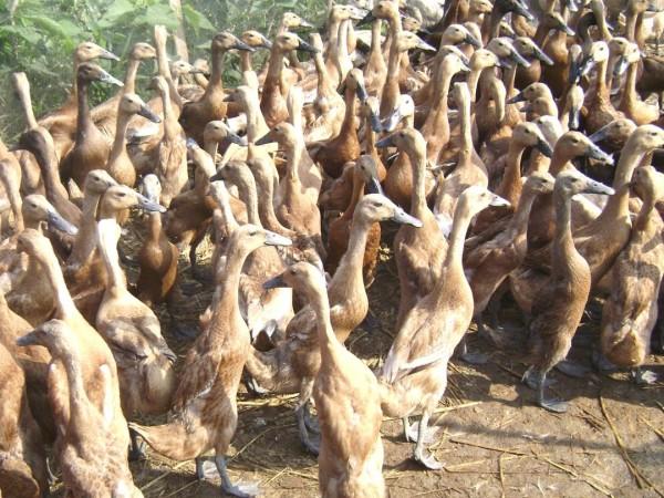 cara-ternak-bebek-itik-viterna-poc-nasa-hormonik-distributor-resmi-nasa-natural-nusantara