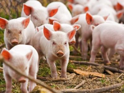 Babi-Anak-Konfrontasi
