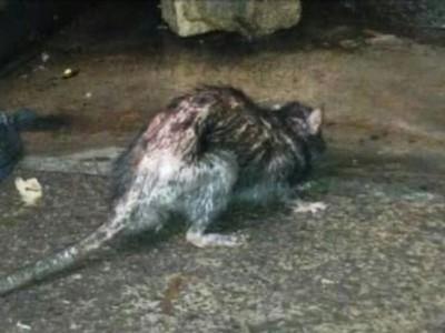 tikus1