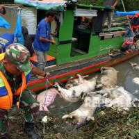 Personel Babinsa TNI mengangkat bangkai babi dari aliran Sungai Bederah, untuk dikubur, di Kelurahan Terjun, Medan, Sumatera Utara, Selasa (12/11/2019).